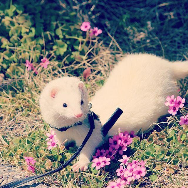 お花とフェレット-ぷーすけ