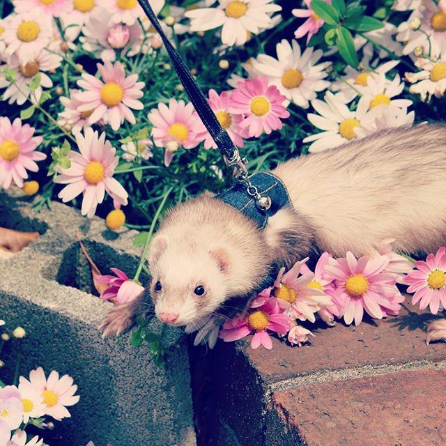 お花とフェレット-しゃんぴー
