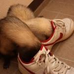 フェレット 靴遊び