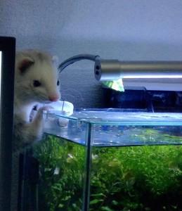 フェレット 遊び 放牧 ぷーすけ 水槽