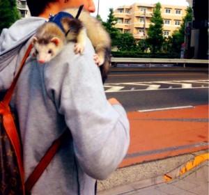 フェレット 散歩 ぷーすけ 道路