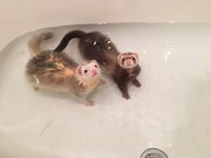 ぷーすけ&しゃんぴー フェレット お風呂
