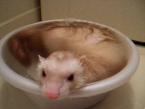 風呂桶 フェレット お風呂